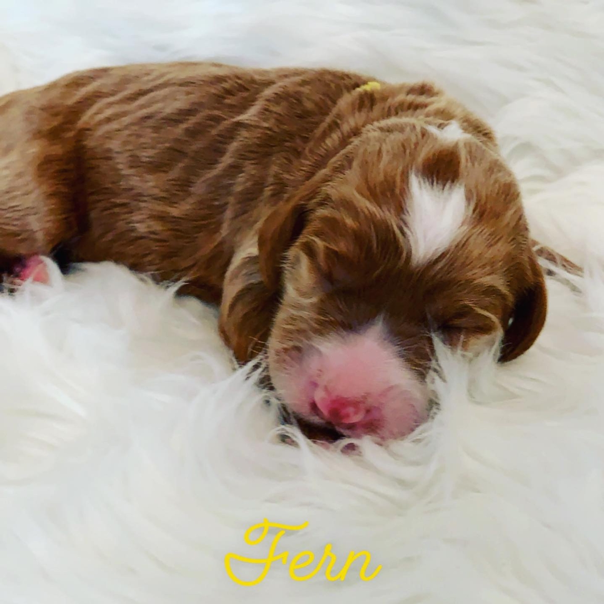 Fern-Yellow Collar 2