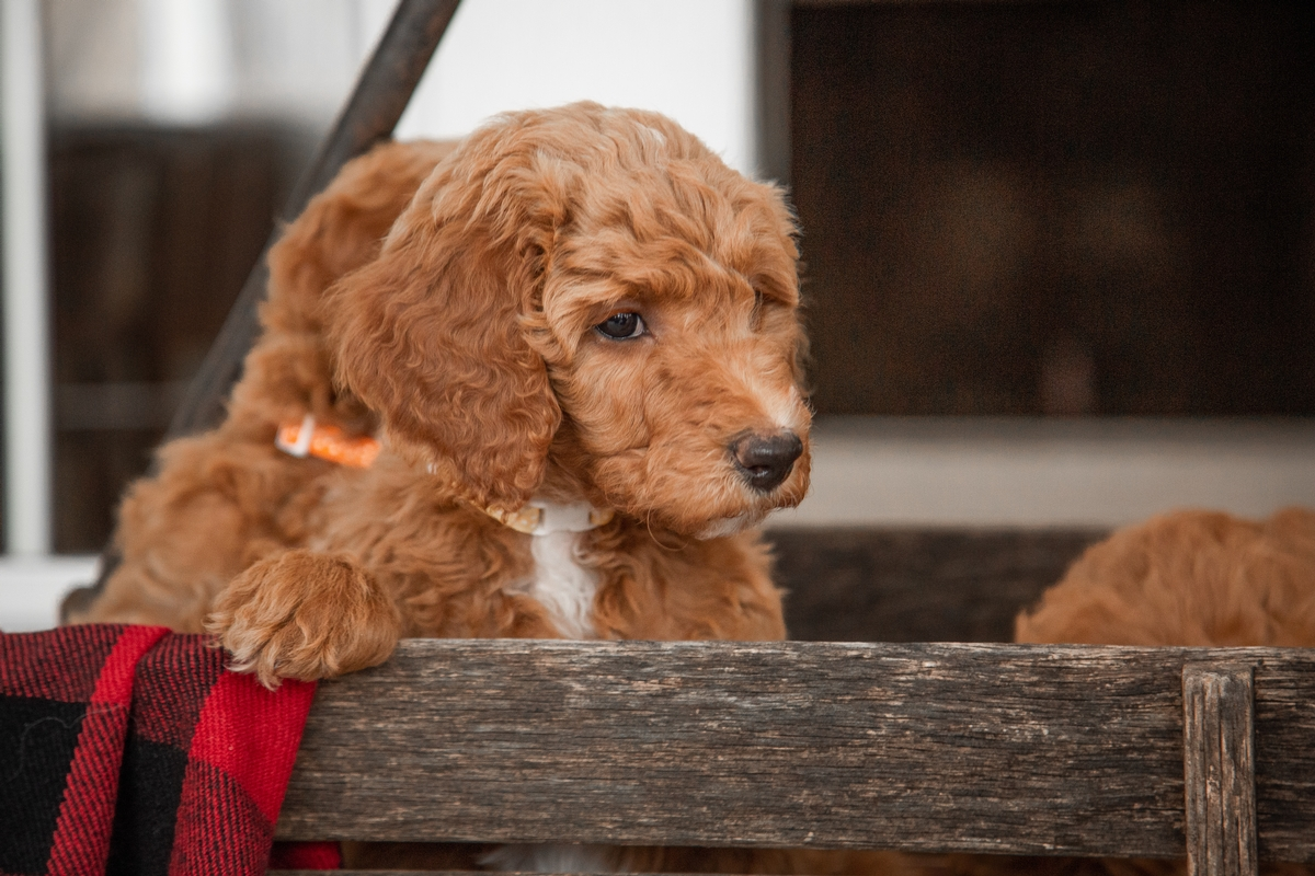 Labradoodle Puppies Cleveland OH