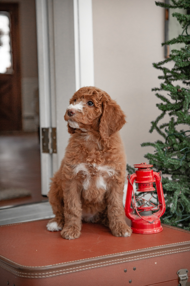 Doodle Puppies for Sale Ohio