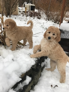 Layla & Ben's Pups Playing in the Snow